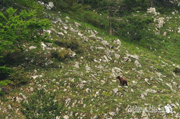 Un giovane esemplare di orso, rimasto solo dopo la morte della madre avvenuta per investimento.