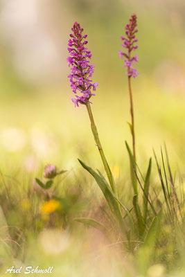 Mücken-Händelwurz (Gymnadenia canopsea) - Montafon (Alpen)