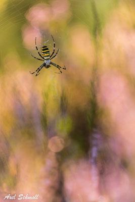 Wespenspinne (Argiope bruennichi) - Brandenburg