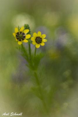 Sommeradonisröschen in Gelb (Adonis aestivalis)