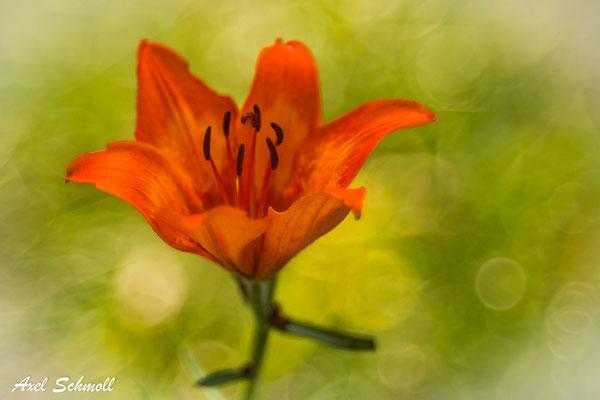 Feuer-Lilie (Lilium bulbiferum)