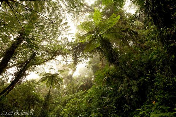 Moneverde - Regenwald
