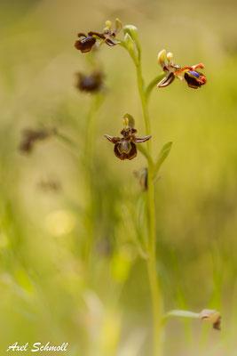 Spiegelragwurz (Ophrys speculum) - Mallorca