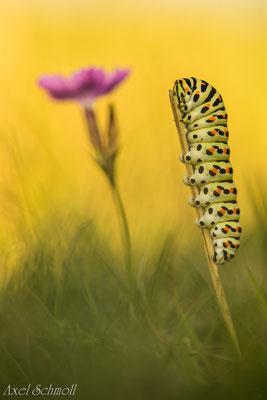 Raupe des Schwalbenschwanzes (Papilio machaon) - Thüringen