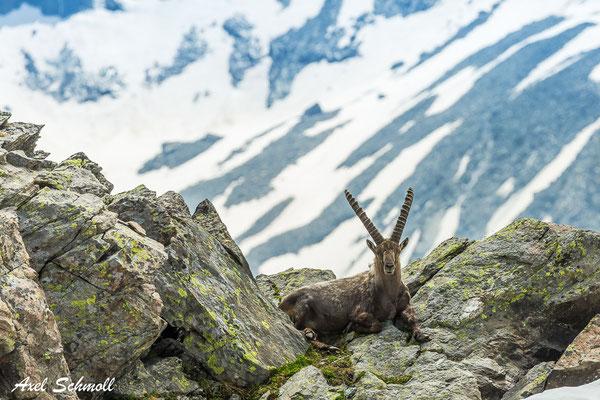 Ein Alpensteinbock blickt Dich an (Capra ibex)