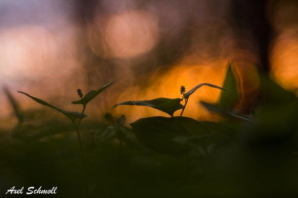 Schattenblume (Maianthemum bifolium)