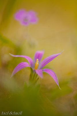 Scheinkrokus (Romulea bulbocodium) - Extremadura