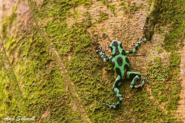 Goldbaumsteiger (Dendrobates auratus) beim Aufstieg zu seiner Brut - Chilamate Rainforest Retreat