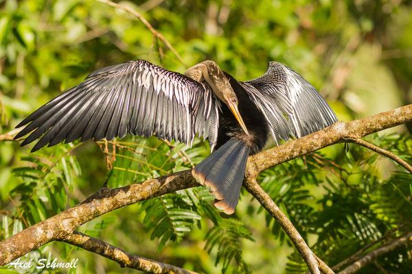 Amerika-Schlangenhalsvogel (Anhinga anhinga) – anhinga - Nationalpark Tortuguero