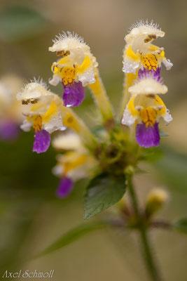 Bunter Hohlzahn (Galeopsis speciosa)