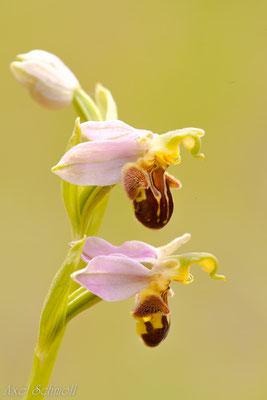 Bienenragwurz (Ophrys apifera)