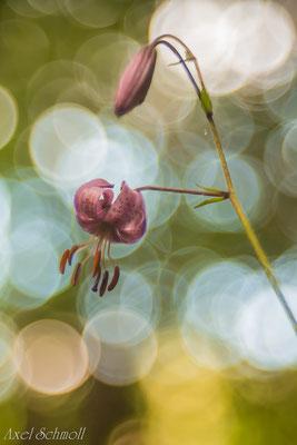 Türkenbund (Lilium martagon) - Pyrenäen