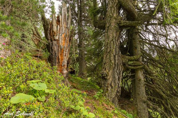 Tot- und Altholz im Bergwald