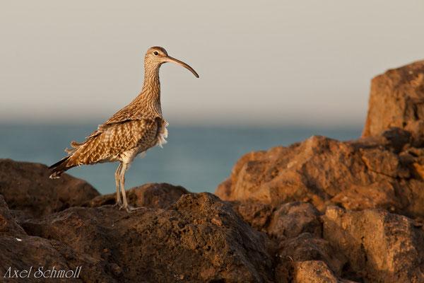 Regenbrachvogel (Numenius phaeopus) - Lanzarote