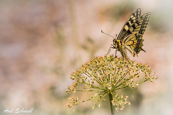Schwalbenschwanz kurz mal abgesetzt (Papilio machaon)