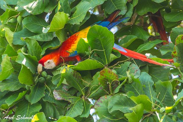 Hellroter Ara (Ara macao) – scarlet macaw – Nationalpark Corcovado