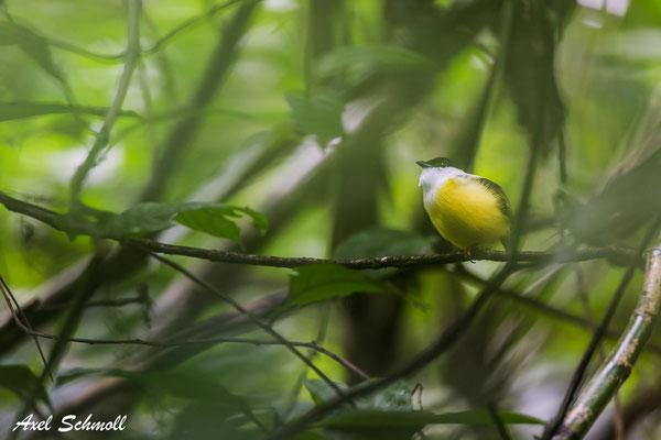 Weißband-Pipra (Manacus candei)