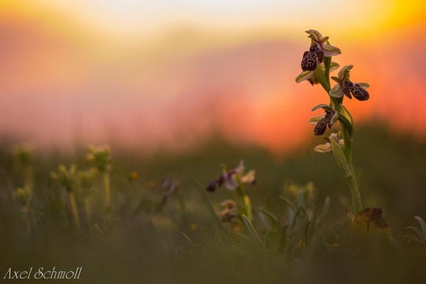 Kotschyis Ragwurz (Ophrys kotschyi) - Zypern Endemit