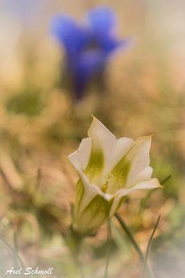 """""""Albino"""" des Stängellosen Enzians (Gentiana acaulis)"""