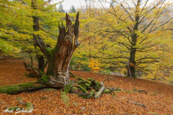 Totoholz macht einen alten Buchenwald erst lebendig