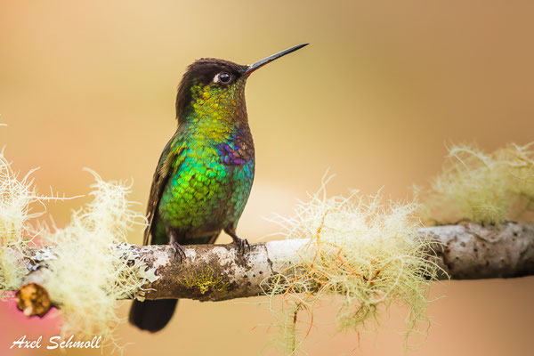 Feuerkehlkolibri (Panterpe insignis) – fiery-throated hummingbird – Mirador Quetzales