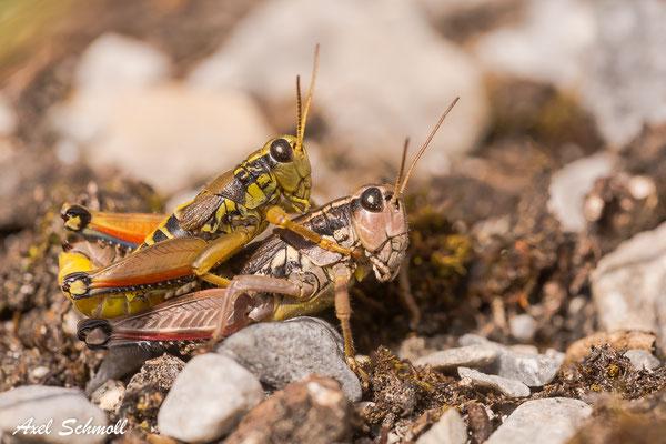 Paarung der Gewöhnlichen Gebirgsschrecke (Podisma pedestris)