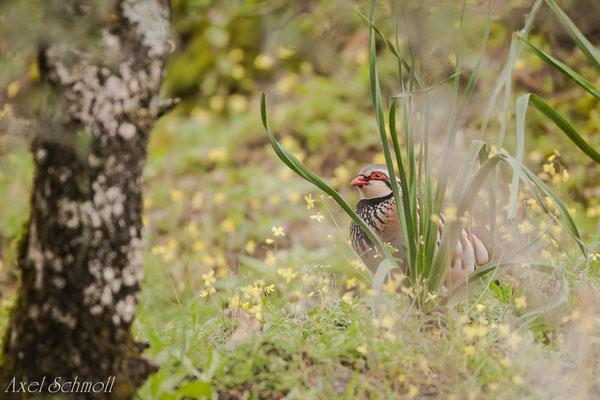 Rothuhn (Alectoris rufa) - Extremadura