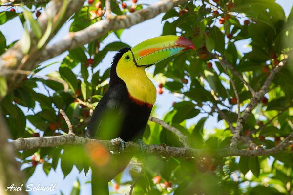 Regenbogentukan (Ramphastos sulfuratus) – keel billed toucan – Nationalpark Tortuguero