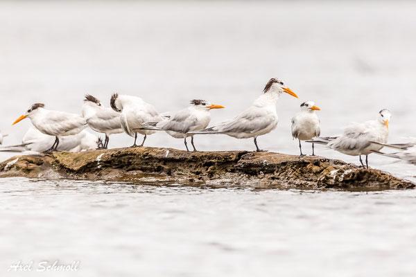 Königsseeschwalbe (Thalasseus maximus) – royal tern – Nationalpark Tortuguero