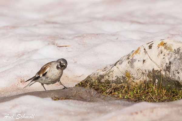 Schneesperling (Montifringilla nivalis)