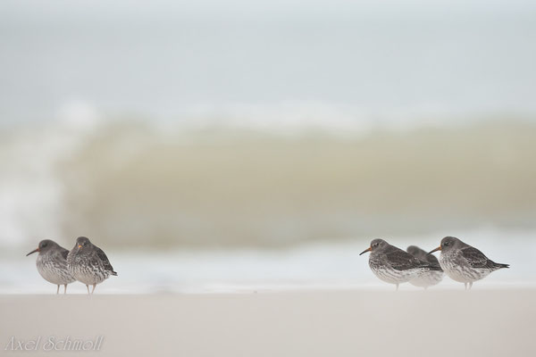 Meerstrandläufer (Calidris maritima)