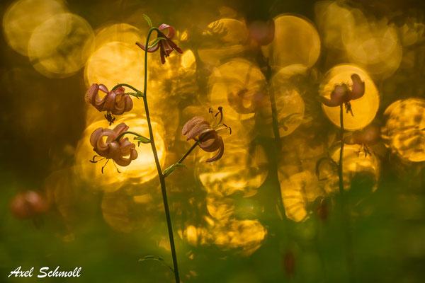 Türkenbund (Lilium martagon)