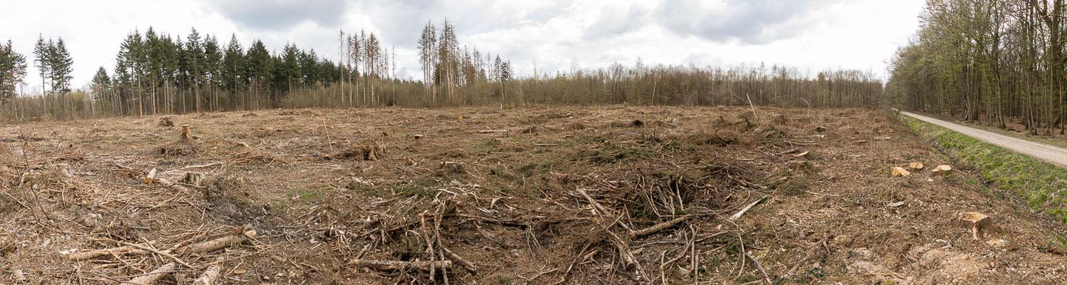 """2 ha-Kahlschlag direkt gegenüber der Naturwaldparzelle. Das """"Steppenklima"""" kann sich auch negativ auf den Naturwald auswirken."""