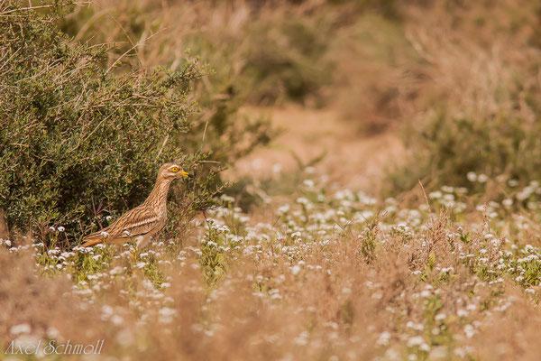 Triel (Burhinus oedicnemus) - Marokko