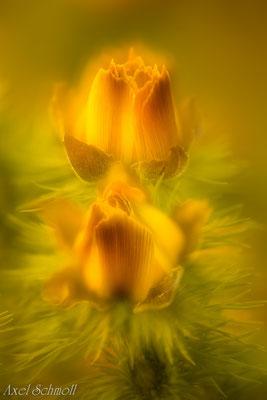 Adonisröschen (Adonis vernalis)