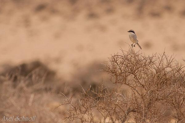 Südlicher Raubwürger (Lanius meridionalis) - Fuerteventura