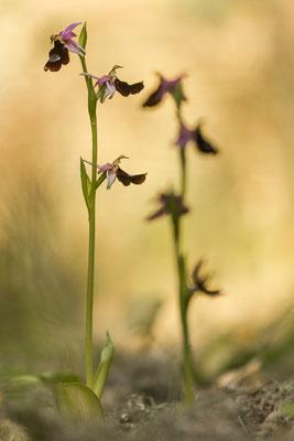 Balearenragwurz (Ophrys balearica)