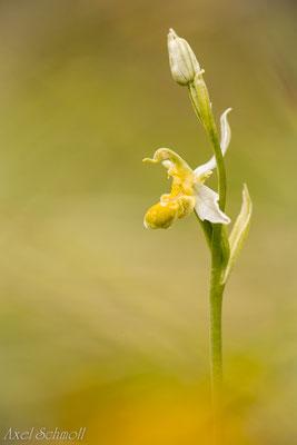 Bienenragwurz (Ophrys apifera) - Gelbe Form