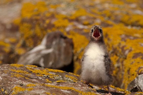 Junge Küstenseeschwalbe (Sterna paradisaea) - England