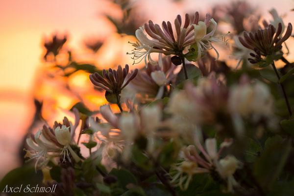 Geißblatt (Lonicera periclymenum) - Wales