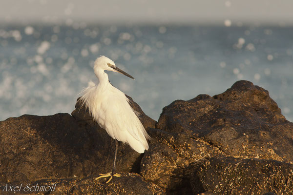 Seidenreiher (Egretta garzetta) - Lanzarote