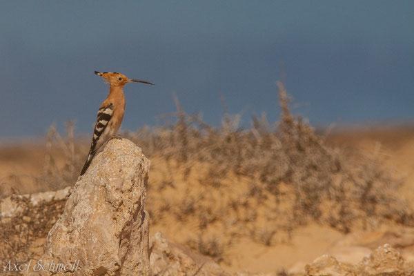 Wiedehopf (Upupa epops) - Fuerteventura