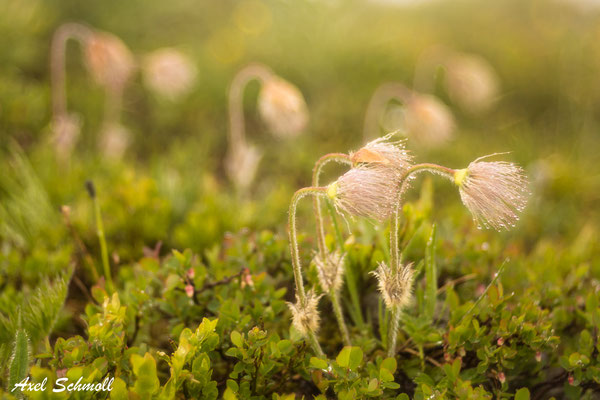 Hexenbesen der Alpen-Kuhschelle (Pulsatilla alpina) im Regen (vor dem Kaiserschmarren)