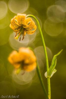 Pyrenäen-Türkenbund (Lilium pyrenaicum) - Pyrenäen