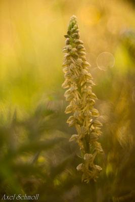 Ohnhorn (Orchis anthropophora)