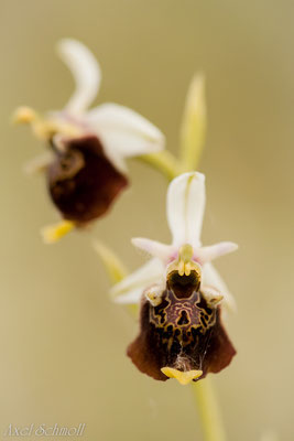 Hummel-Ragwurz (Ophrys fuciflora) - Abruzzen