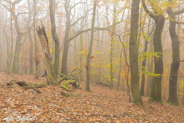 Naturnaher Wald mit Rotbuchen, Traubeneichen und viel Totholz.