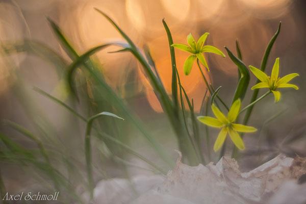 Wald-Goldstern (Gagea lutea)