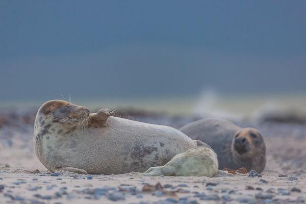 Robbenfamilie im Abendlicht