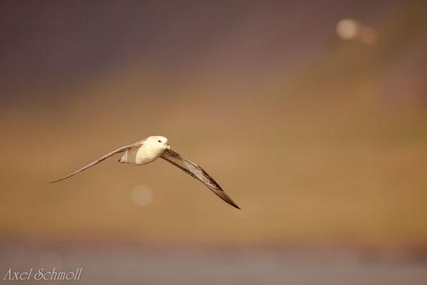 Eissturmvogel (Fulmarus glacialis) - Island